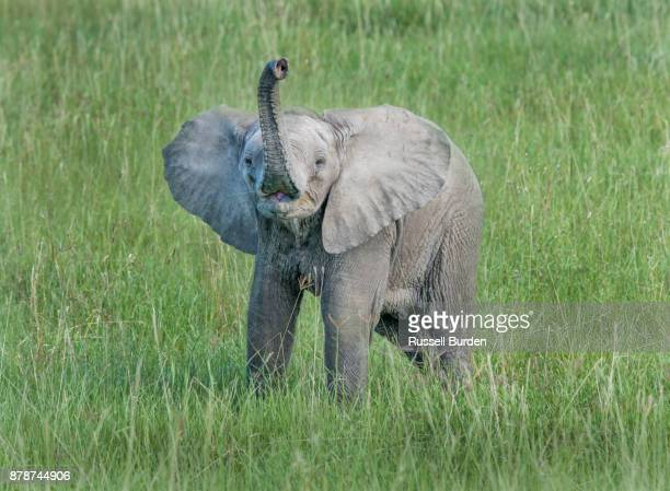 elephant - baby elephant stock photos and pictures