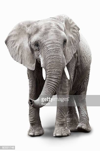 elephant - elephant stock pictures, royalty-free photos & images