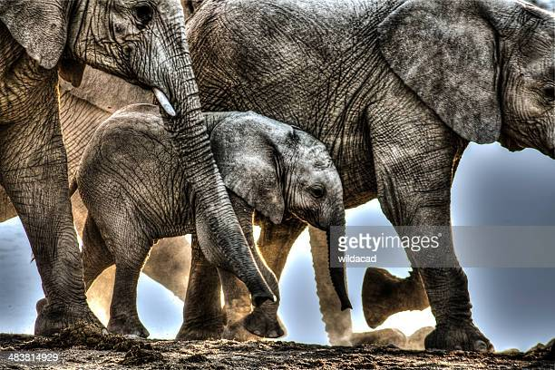 elephant protects their young - baby elephant stock photos and pictures