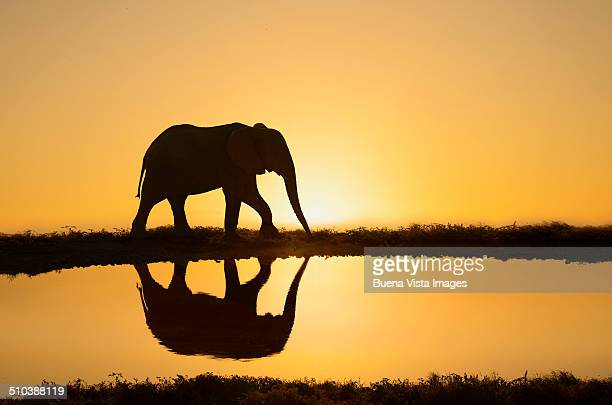 Elephant reflecting in  a pond at sunset