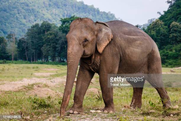 elephant rescue park in chiang mai, thailand - asian elephant stock pictures, royalty-free photos & images