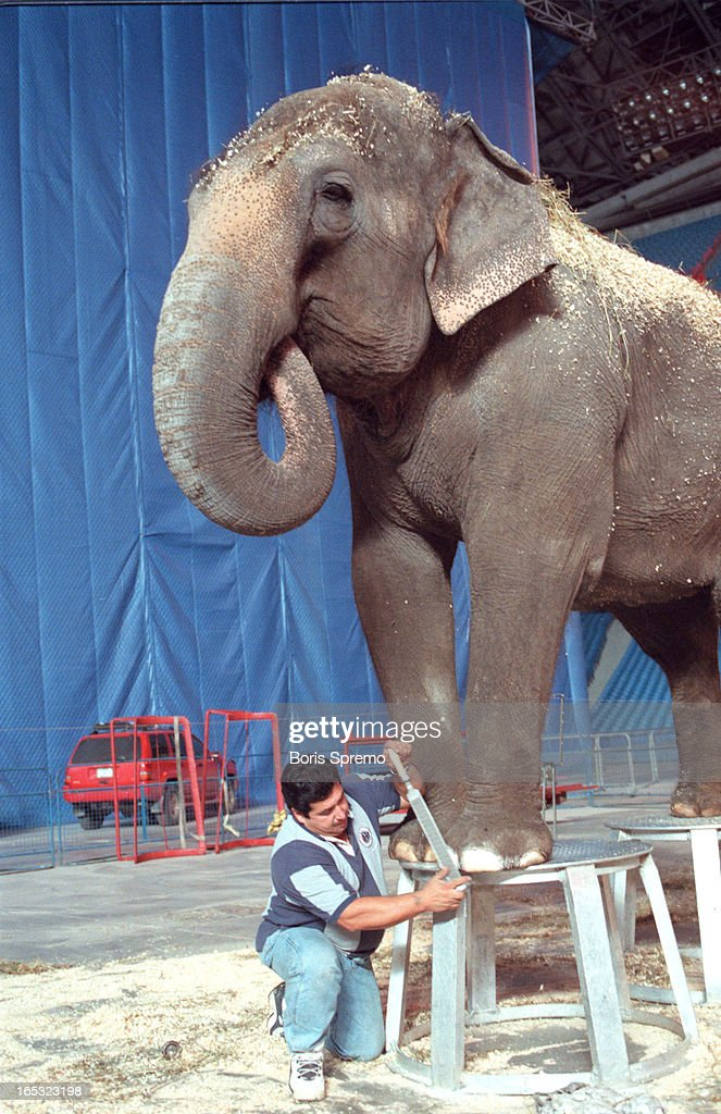 elephant ROXYI,36,10.000lbs geting maniqur/pedicur from Louie ...