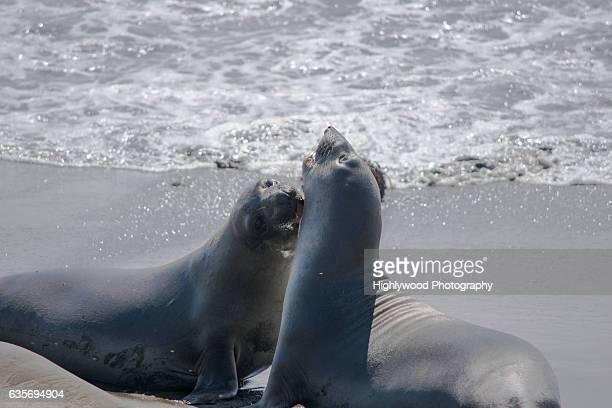 elephant seal bite - highlywood fotografías e imágenes de stock