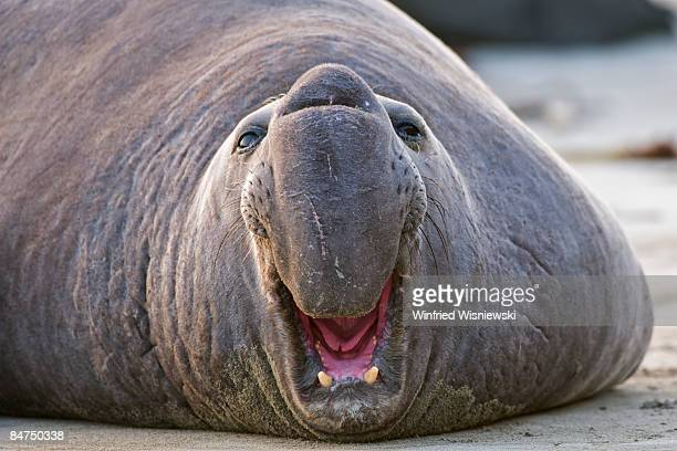 Elephant seal bull on beach