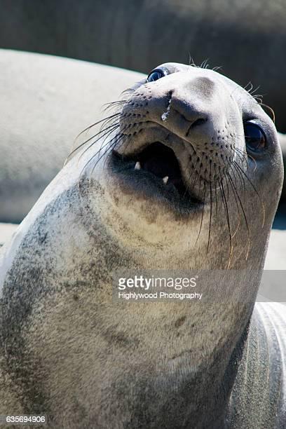elephant seal close-up - highlywood fotografías e imágenes de stock