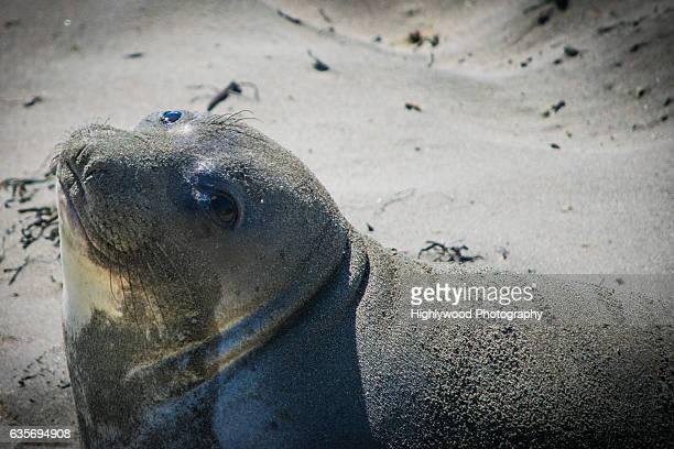 elephant seal eye - highlywood fotografías e imágenes de stock