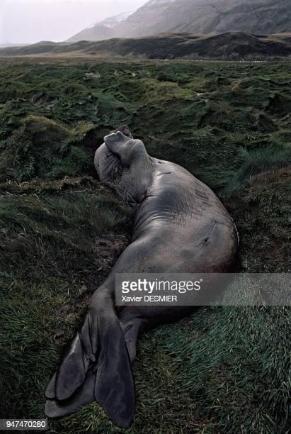 Elephant seal in a wallow US Possession Bay Crozet Elephant de mer dans une souille Baie US de la Possession Crozet