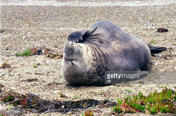 elephant seal in punta ninfas, chubut province, patagonia, argentina - rookery stock pictures, royalty-free photos & images