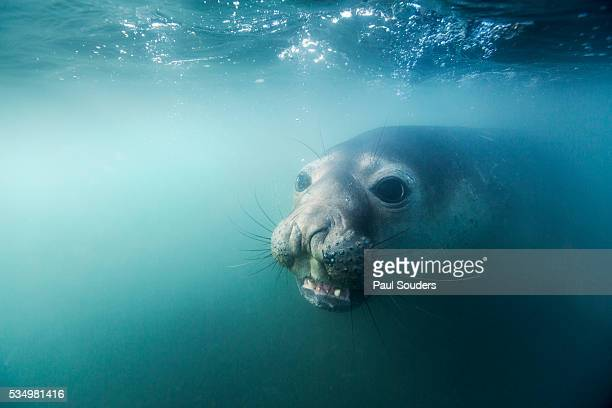 Elephant seal on Livingstone Island, Antarctica