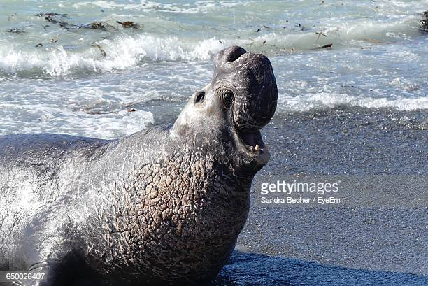 Elephant Seal On Shore At Beach