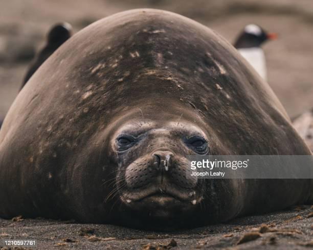 elephant seal - elefante marinho imagens e fotografias de stock