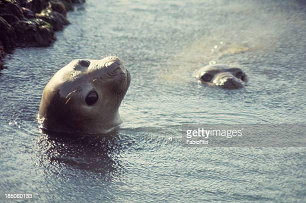 Elephant seal.