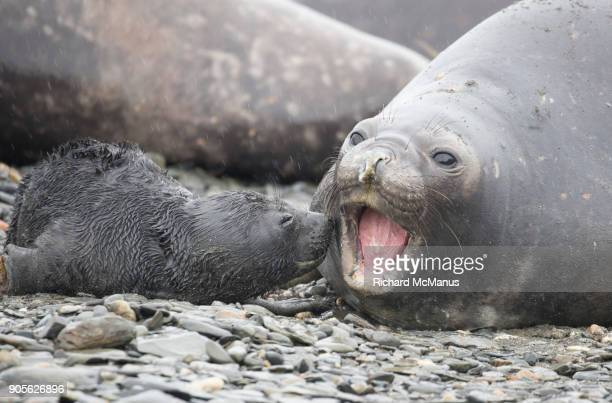 elephant seal pup showing affection. - seal pup stock pictures, royalty-free photos & images