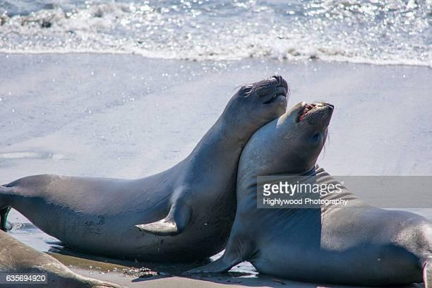 elephant seal see saw - highlywood fotografías e imágenes de stock