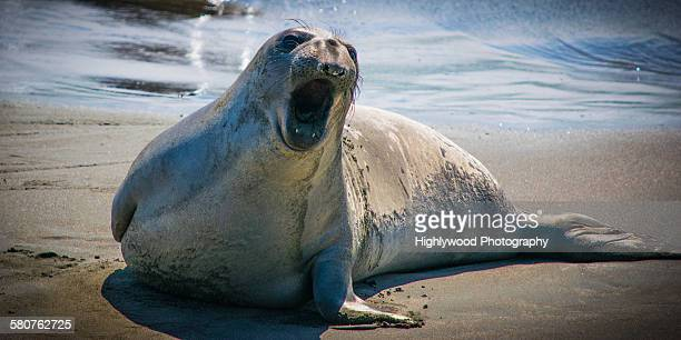 elephant seal speaks - hearst castle stock pictures, royalty-free photos & images