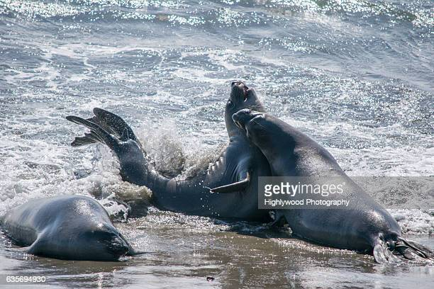 elephant seal splash - highlywood fotografías e imágenes de stock