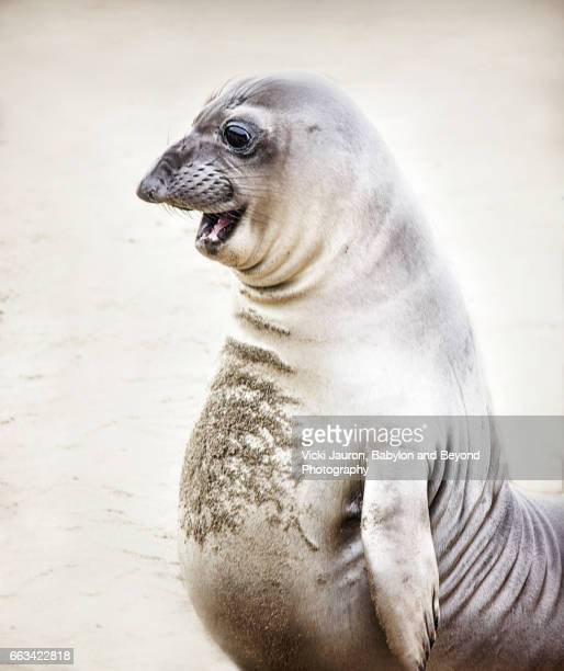 Elephant Seal Standing Up with Funny Face