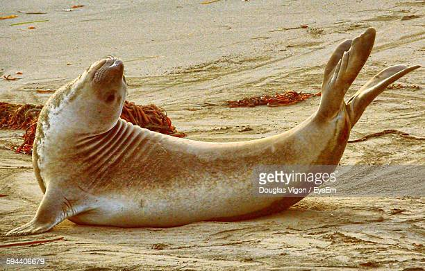 Elephant Seal Stretching On Sand At Beach