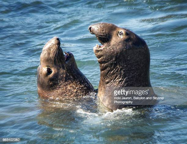 elephant seal tete a tete at san simeon - rookery stock pictures, royalty-free photos & images
