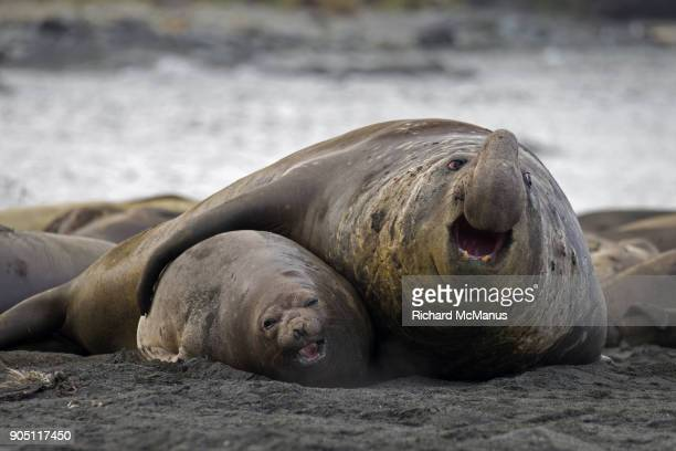 elephant seals at gold harbour. - koningspinguïn stockfoto's en -beelden