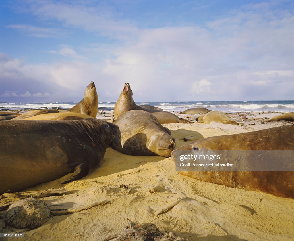 Elephant seals, Falkland Islands, South Atlantic : Foto de stock