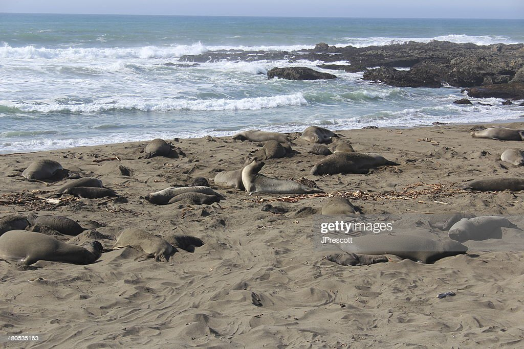 Elephant Seals Fighting on California Beach : Stockfoto