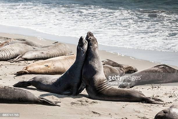 elephant seals fighting on seashore at beach - elefante marinho imagens e fotografias de stock