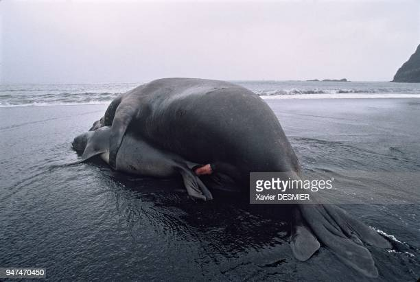 Elephant seals Mating takes place after the young have been severed just before the females return to the sea to eat Males more powerful than females...