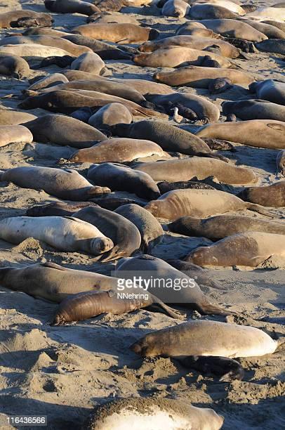 elefante, mirounga angustirostris selos - elefante marinho imagens e fotografias de stock