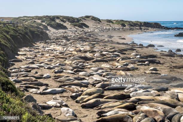 Elephant Seals Resting On Shore At Beach Against Sky