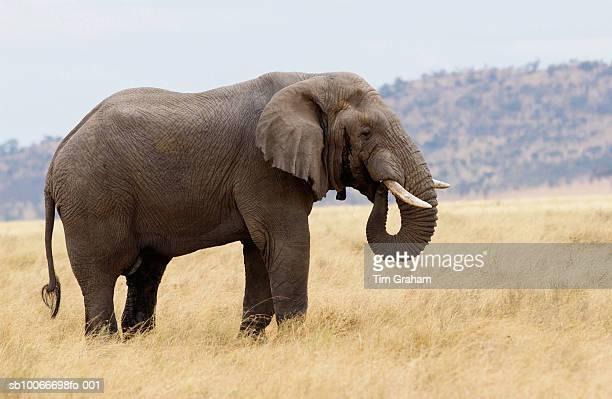 Elephant, Serengeti, Tanzania