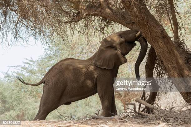 Elephant shaking tree trunk