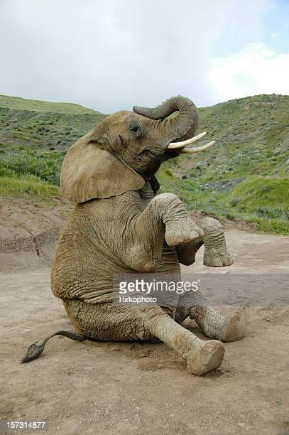 Elephant sitting down with feet up