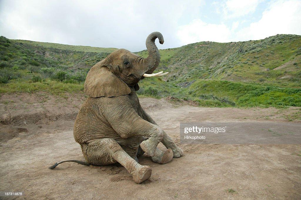 Elephant sitting : Stock Photo
