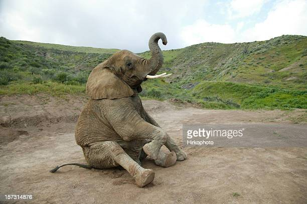 elephant sitting - animal nose stock pictures, royalty-free photos & images