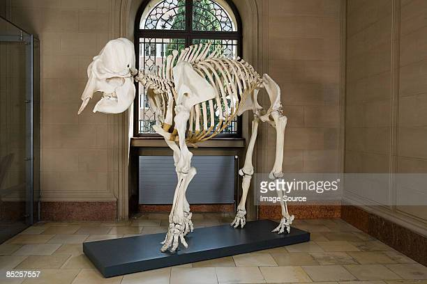 Elephant skeleton in a museum