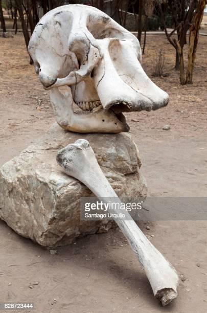 Elephant skull and femur