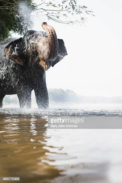 elephant squirting water in river - kerala elephants stock pictures, royalty-free photos & images