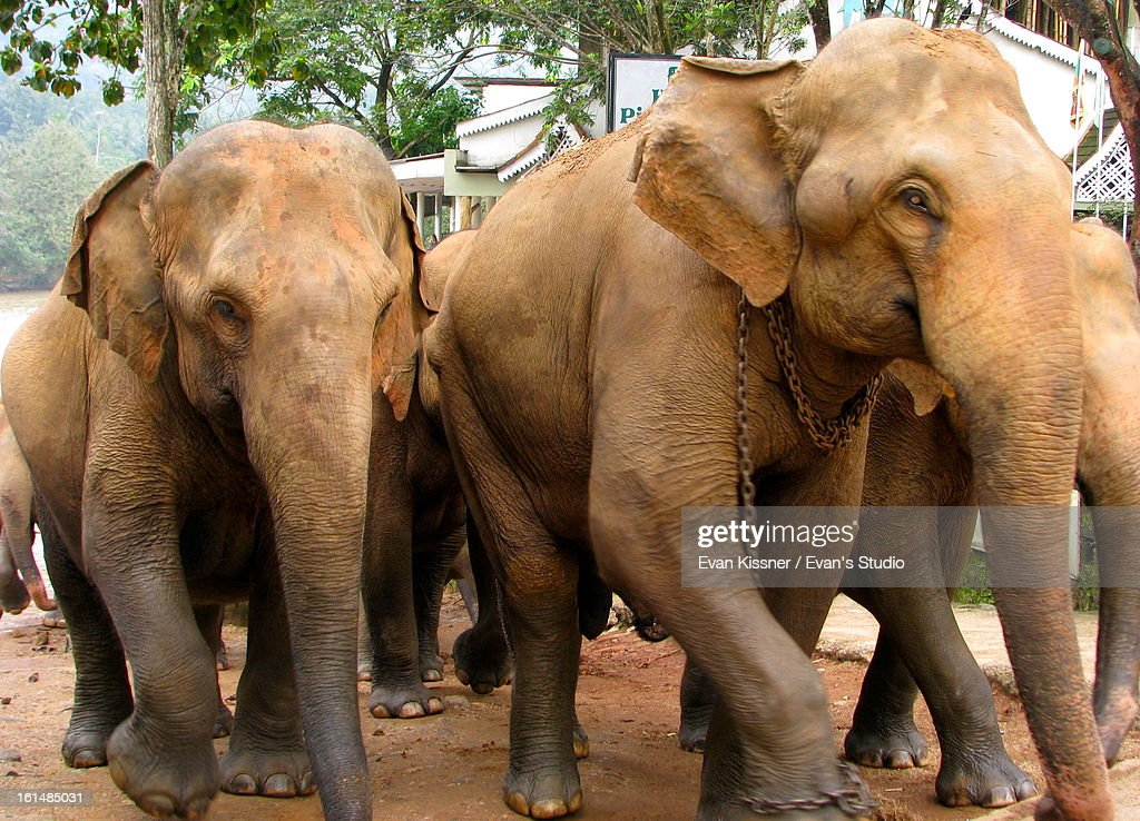 Elephant Stampede. : Stock Photo