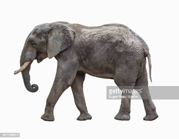 Elephant Standing Against White Background