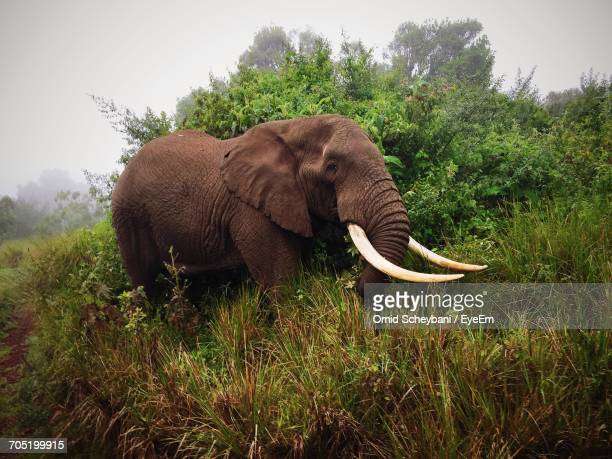 Elephant Standing Amidst Plants In Foggy Weather