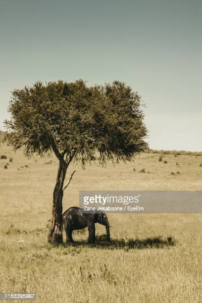 elephant standing by tree on field against sky - herbivorous stock pictures, royalty-free photos & images