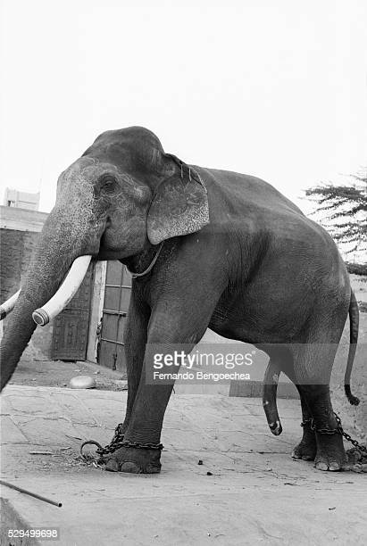 Elephant Standing in Leg Chains