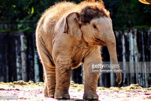 elephant standing on a land - chester zoo stock pictures, royalty-free photos & images