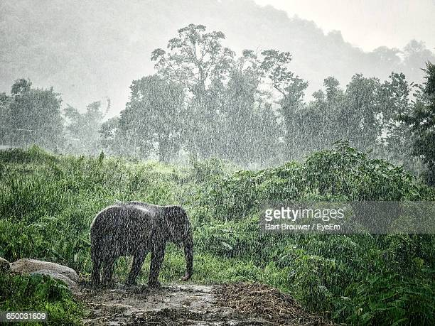 Elephant Standing On Field During Monsoon