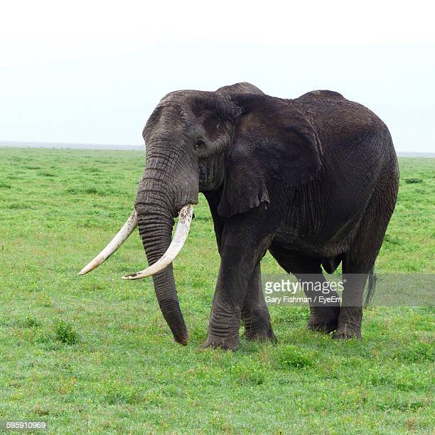 Elephant Standing On Grassy Field At Ngorongoro Conservation Area Against Clear Sky