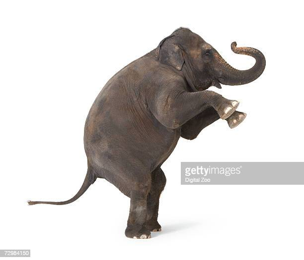 elephant standing on hind legs, performing trick - elephant stock pictures, royalty-free photos & images