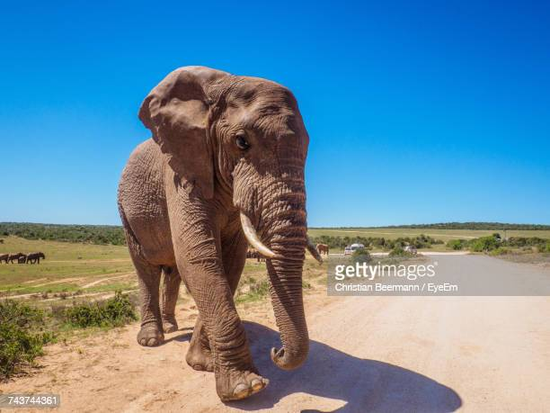 Elephant Standing On Road Against Clear Blue Sky