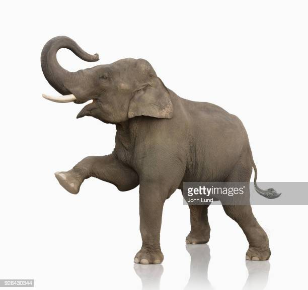 elephant standing on white lifting one leg - john lund stock pictures, royalty-free photos & images