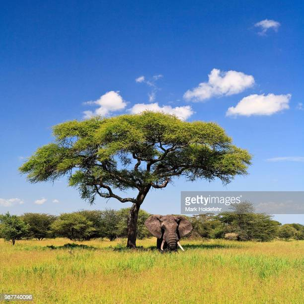 Elephant standing under acacia tree on sunny day, Tanzania